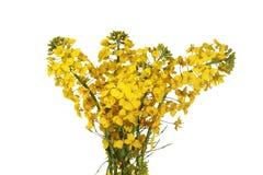 Цветок Canola Стоковое Изображение RF