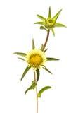 Цветок Carlina Стоковое Изображение RF