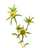 Цветок Carlina Стоковая Фотография