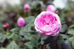 Цветок centifolia Розы стоковое фото rf