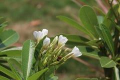 Цветок Champa магнолии в парке с белизной Стоковые Изображения RF