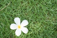 Цветок Champa на траве Стоковое Изображение