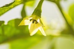 Цветок Chili в back-light Стоковое фото RF