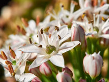 Цветок Chive чеснока Стоковые Изображения