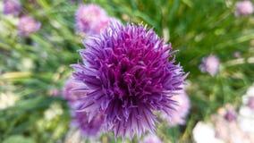 Цветок Chive стоковое изображение