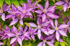цветок clematis предпосылки Стоковая Фотография RF
