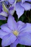 цветок clematis стоковое изображение rf