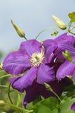 Цветок Clematis Стоковые Фото