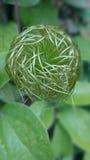 Цветок Clematis Стоковые Фотографии RF