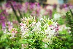 Цветок Cleome Стоковое фото RF