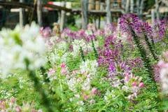 Цветок Cleome Стоковая Фотография