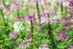 Цветок Cleome Стоковая Фотография RF
