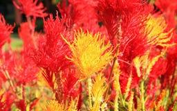 Цветок Cockscomb в саде Стоковые Изображения