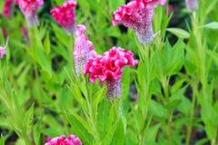 Цветок Cockscomb или китайский цветок шерстей Стоковые Фото