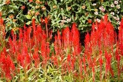 Цветок Cockscomb Стоковые Фотографии RF