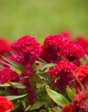 Цветок Cockscomb Стоковые Фото