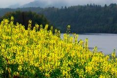 цветок cole Стоковые Изображения RF