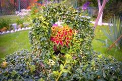 Цветок Coleus variegated Blumei стоковые изображения