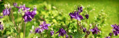 Цветок Columbine с путает пчела Стоковая Фотография