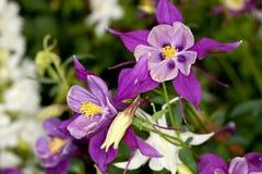 Цветок Columbine (Aquilegia) Стоковое Изображение RF