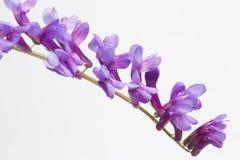 Цветок cracca викы на белой предпосылке, конце-вверх Стоковое фото RF
