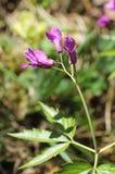 Цветок Cranesbill Стоковое фото RF