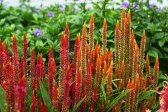 Цветок Cristata Celosia Стоковое фото RF