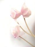 цветок cyclama Стоковые Фото