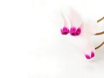 цветок cyclama Стоковое Изображение RF