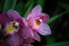 Цветок Cymbidium зацветает в саде Стоковая Фотография RF