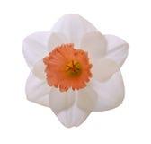 Цветок daffodil чашки Стоковая Фотография