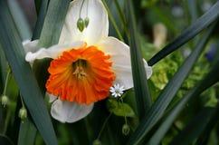 Цветок Daffodil Стоковые Изображения RF