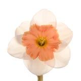 цветок daffodil cultivar одиночный Стоковая Фотография