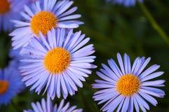 цветок daisywheel стоковая фотография rf