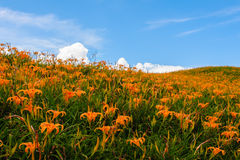 Цветок Daylily на 60 каменных горах Стоковое фото RF
