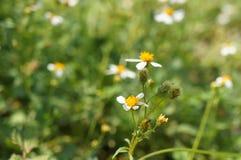 Цветок Deisy и предпосылка нерезкости стоковое фото