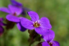 цветок dff клиппирования aubrieta цветет изолированная изображением белизна весны путей Стоковые Изображения RF