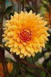 Цветок Dhalia Стоковые Изображения RF