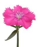 цветок dianthus цветет лето Стоковая Фотография RF