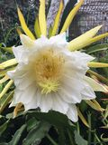 Цветок Dragonfruit Стоковое Фото