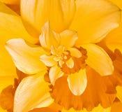 Цветок Droste Daffodil Стоковая Фотография RF