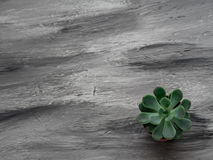 Цветок ECHEVERIA на серой предпосылке скопируйте космос Стоковая Фотография RF