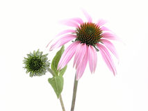 цветок echinacea Стоковое Фото