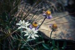 Цветок Edelweiss высокогорный Стоковые Изображения RF