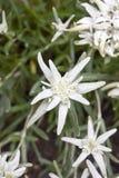 Цветок Edelweiss Стоковое фото RF