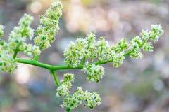 Цветок Elaeocarpus стоковые фото