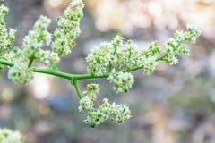 Цветок Elaeocarpus стоковые фотографии rf