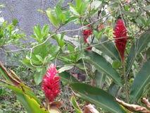 Цветок elatior Etlingera - Bastao сделайте Imperador - штат ` s императора Стоковая Фотография RF