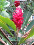 Цветок elatior Etlingera - Bastao сделайте Imperador - штат ` s императора Стоковое Фото