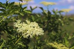 Цветок elderberry в солнце Голубой цветок в капельках росы на запачканной зеленой предпосылке Заводы лугов regi Стоковые Изображения RF